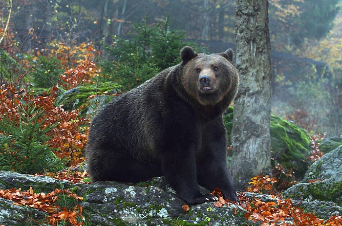brown bear observation in Brasov area